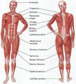 Muscular_System