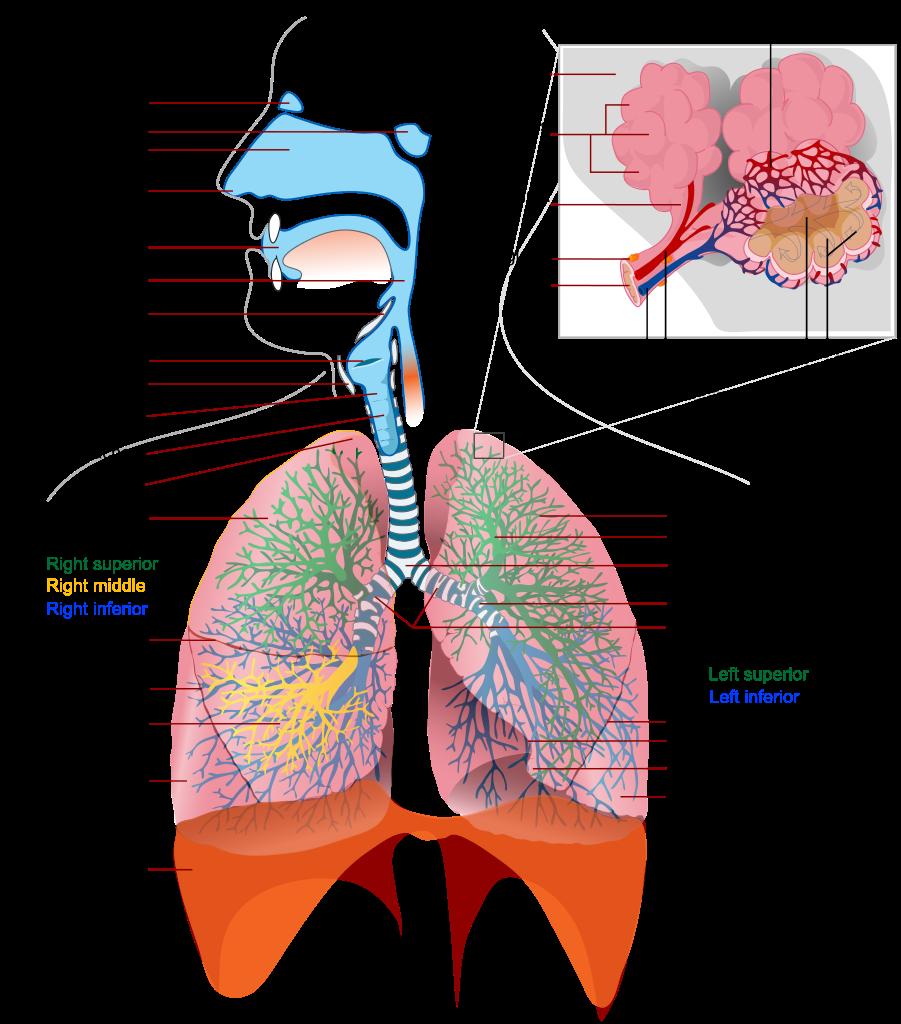 Respiratory System - RNpedia
