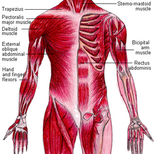 muscular-system2